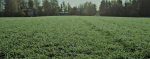 Lumihomeen torjuntaruiskutuksesta saadaan paras teho kun ruiskutus tehdään kuivaan kasvustoon